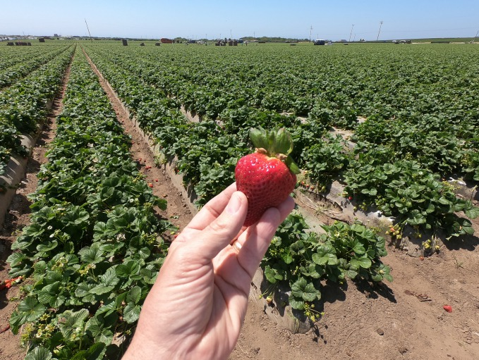 Strawberry in Salinas Valley